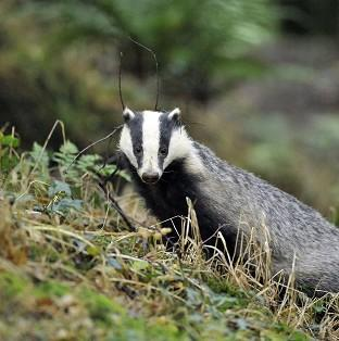 The revelation comes after efforts to cull badgers came in for criticism