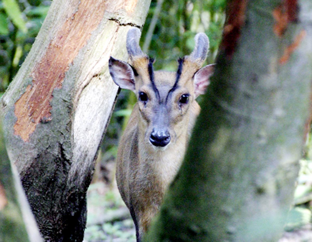 Muntjac deer are not native to the UK