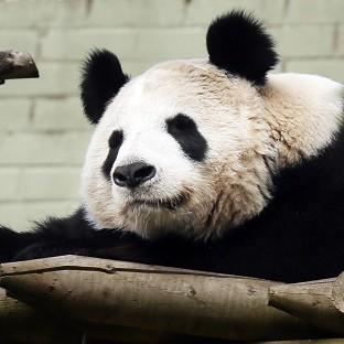 Preston and Leyland Citizen: Experts at Edinburgh Zoo say female panda Tian Tian will soon be ready to mate